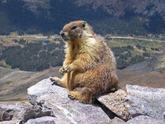 1200px-Marmot-edit1